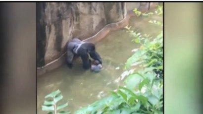 Gorilla ucciso a fucilate in uno zoo per salvare bambino caduto